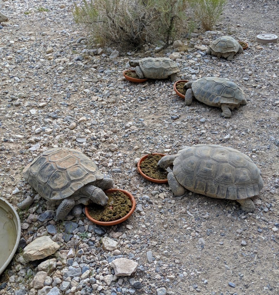 Red Rock Canyon Desert Tortoises having breakfast.