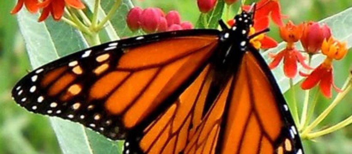 Male_Monarch_on_Milkweed_CALENDAR_Patricia-Mulholland